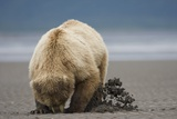 Grizzly Bear Digging Clams at Low Tide at Hallo Bay Photographic Print by Paul Souders