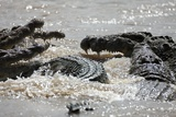 Nile Crocodiles Feeding on Wildebeest Kill Photographic Print by Paul Souders