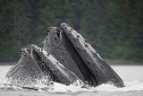 Humpback Whales Feeding in Frederick Sound Photographic Print by Paul Souders