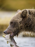Grizzly Bear Carrying Spawning Salmon at Geographic Harbor Photographic Print by Paul Souders