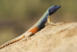 Augrabies Flat Lizard Photographic Print by Paul Souders