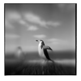 Chinstrap Penguin, Antarctica Photographic Print by Paul Souders