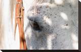 Horse's Eye Opspændt lærredstryk af Tom Artin