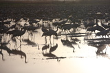 Middle East, Israel, Hula Park, Large group of Cranes near the lake Photographic Print by Samuel Magal