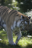 New York City, Bronx Zoo, Tiger Photographic Print by Samuel Magal