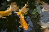 New York City, Bronx Zoo, Koi Fish Pond Photographic Print by Samuel Magal