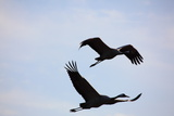 Middle East, Israel, Hula Park, Cranes Photographic Print by Samuel Magal