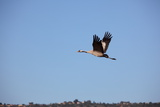 Middle East, Israel, Hula Park, Crane Photographic Print by Samuel Magal
