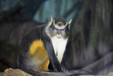 New York City, Bronx Zoo, Wolf's Mona Monkey (Cercopithecus Wolfi), Wolf's Guenon Monkey Photographic Print by Samuel Magal