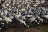 Middle East, Israel, Hula Park, Large group of Cranes Photographic Print by Samuel Magal