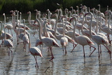 France, Camargue Park (Parc Naturel Regional de Carmague), Greater Flamingo (Phoenicopterus Roseus) Photographic Print by Samuel Magal