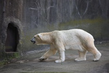 New York City, Bronx Zoo, Polar Bear Photographic Print by Samuel Magal