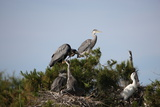 France, Camargue Park (Parc Naturel Regional de Carmague), Grey Heron (Ardea cinerea) Photographic Print by Samuel Magal