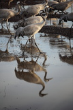 Middle East, Israel, Hula Park, Cranes near the lake Photographic Print by Samuel Magal