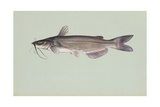 Channel Catfish Giclee Print