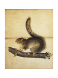 Eastern Grey Squirrel in Full Winter Coat Giclee Print by John James Audubon