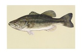 Largemouth Bass Giclee Print