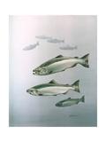 King Salmon Reproduction procédé giclée