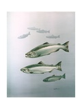 King Salmon Giclee Print