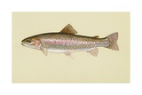 Rainbow Trout Giclee Print