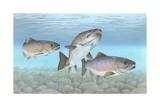 Atlantischer Lachs Giclée-Druck