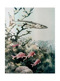 Barracuda and Reef Fishes Giclee Print