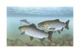 Pacific Salmon Giclee Print