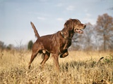 1960s Irish Setter Hunting Dog Pointing in Autumn Field Photographic Print