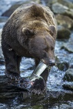Brown Bear, Katmai National Park, Alaska Photographic Print by Paul Souders