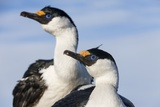 Blue-Eyed Shags, Petermann Island, Antarctica Reproduction photographique par Paul Souders