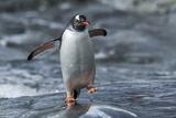 Gentoo Penguin on Petermann Island, Antarctica Fotografisk tryk af Paul Souders