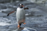 Gentoo Penguin on Petermann Island, Antarctica Photographic Print by Paul Souders