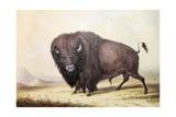Bull Buffalo Giclee Print by George Catlin