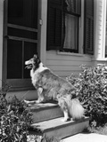 1930s Rough Scotch Collie Dog Standing on Back Doorstep of House Waiting to Be Let In Photographic Print