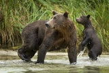 Brown Bear Mother and Cub, Katmai National Park, Alaska Photographic Print by Paul Souders