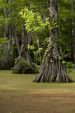 Cypress Swamp, Merchants Millpond State Park, North Carolina Photographic Print by Paul Souders