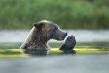 Brown Bear and Salmon, Katmai National Park, Alaska Photographie par Paul Souders