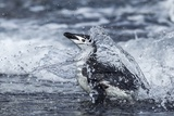 Chinstrap Penguin, Deception Island, Antarctica Photographic Print by Paul Souders