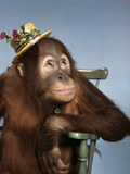 1960s Orangutan Wearing Straw Hat Sitting in Chair Photographic Print