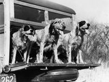 1939 English Setter Hunting Dogs on Tailgate of Wood Body Station Wagon Automobile Photographic Print
