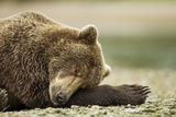 Sleeping Brown Bear, Katmai National Park, Alaska Photographic Print by Paul Souders