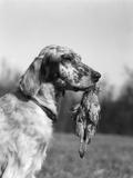 1920s English Setter Holding Retrieved Bird in Mouth Fotografická reprodukce