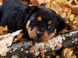 Sorrowful Rottweiler Puppy Lying in Autumn Leaves Photographic Print