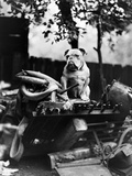 An English Bulldog Perches on a Junk Pile, Ca. 1930 Photographic Print