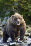 Brown Bear, Katmai National Park, Alaska Lámina fotográfica por Paul Souders