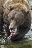 Brown Bear, Katmai National Park, Alaska Photographic Print by Paul Souders
