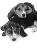 1960s Two Adorable Sad Eyed Beagle Puppies Lying One on Top the Other Reproduction photographique
