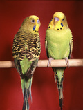 1960s Pair of Two Yellow Green Parakeets Perched Together Reproduction photographique