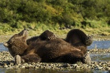 Resting Brown Bear, Katmai National Park, Alaska Photographic Print by Paul Souders