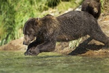 Leaping Brown Bear, Katmai National Park, Alaska Photographic Print by Paul Souders
